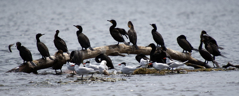 Group of Cormorants on a log with several Caspian Terns on surrounding rocks.<br /> <br /> Taken on Rice Lake, near Bewdley Ontario.