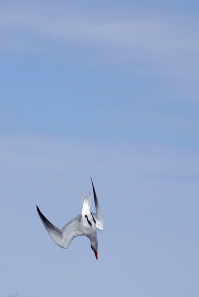 Caspian Tern diving into the water to catch fish.<br /> <br /> Taken on Rice Lake, near Bewdley Ontario.