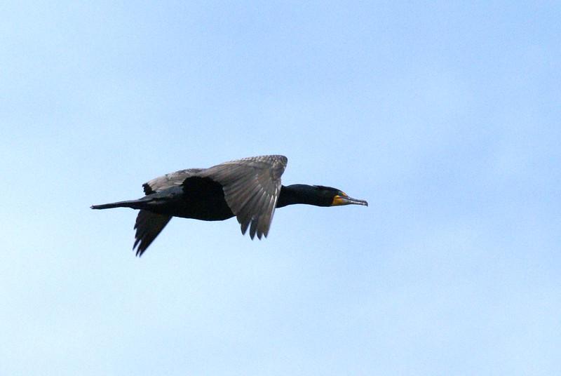 Cormorant in Flight <br /> <br /> Taken on Rice Lake, near Bewdley Ontario.