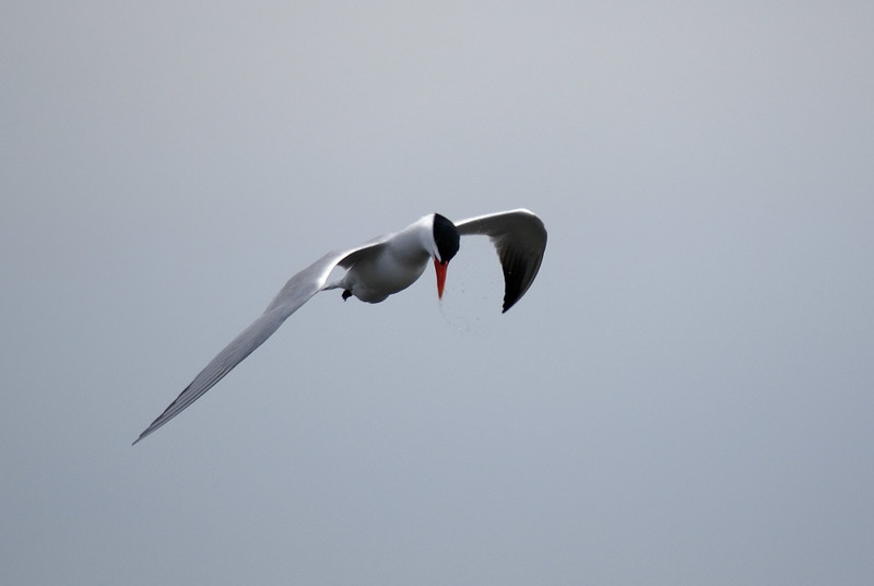 Caspian Tern on the lookout for surface fish.<br /> <br /> Taken on Rice Lake, near Bewdley Ontario.