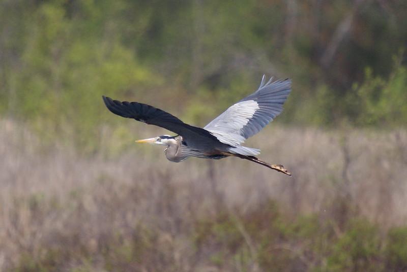 Great Blue Heron (Crop)<br /> <br /> Taken on Rice Lake, near Bewdley Ontario.