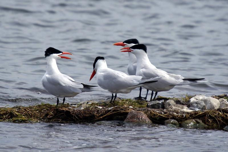Caspian Terns.<br /> <br /> Taken on Rice Lake, near Bewdley Ontario.