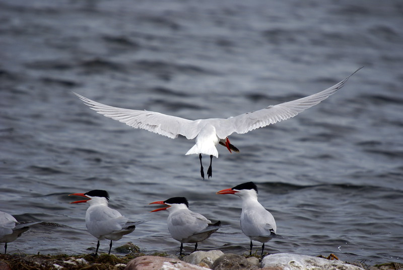 Caspian Tern returning with a fresh meal.<br /> <br /> Taken on Rice Lake, near Bewdley Ontario.