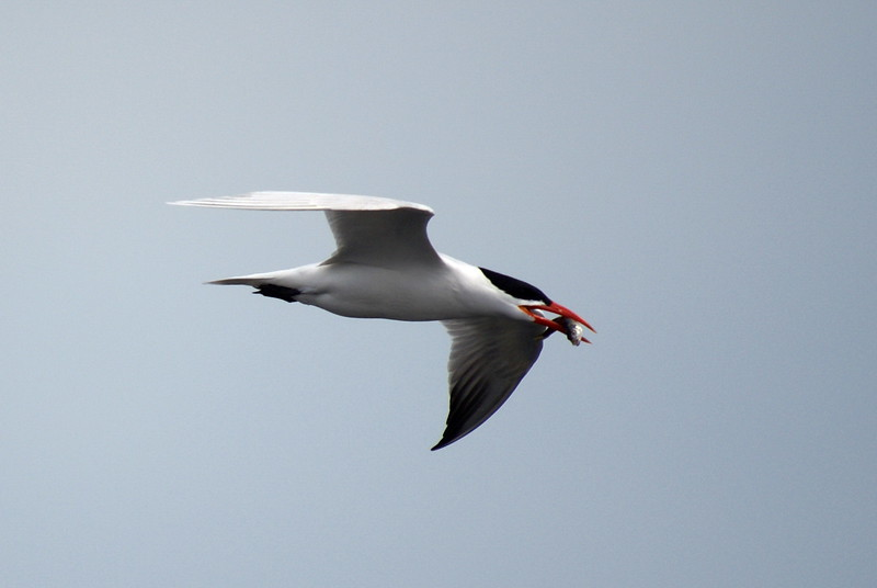 Caspian Tern with fish after having dived into the water.<br /> <br /> Taken on Rice Lake, near Bewdley Ontario.