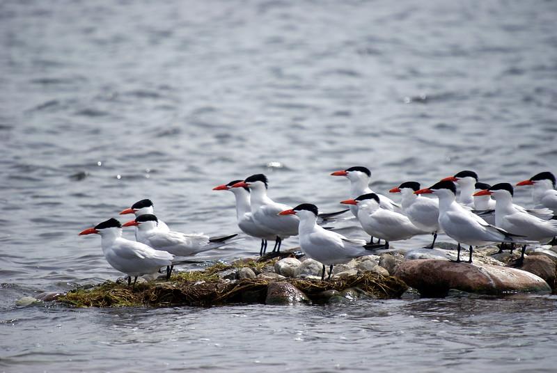 Caspian Terns<br /> <br /> Taken on Rice Lake, near Bewdley Ontario.