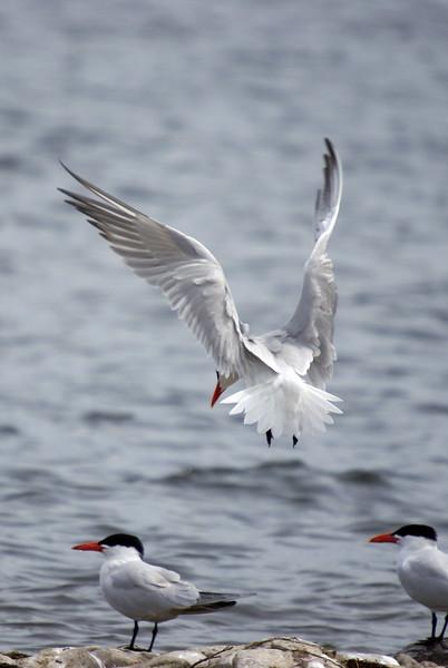 Caspian Tern landing<br /> <br /> Taken on Rice Lake, near Bewdley Ontario.