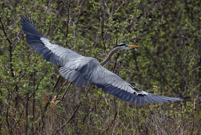 Great Blue Heron<br /> <br /> Taken on Rice Lake, near Bewdley Ontario.