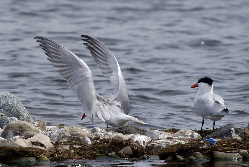 Caspian Tern having just landed on the rocks has its wings in a seemingly awkward position.<br /> <br /> Taken on Rice Lake, near Bewdley Ontario.