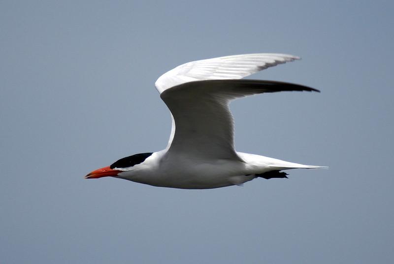 Caspian Tern<br /> <br /> Taken on Rice Lake, near Bewdley Ontario.