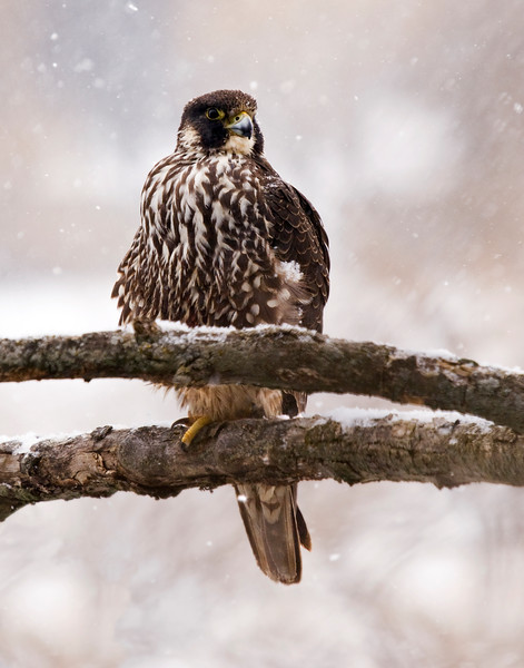 Juvenile Peregrine Falcon in the snow. Did some edits for an 11x14 print. This one is going on the wall!