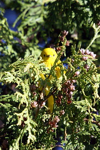 Yellow Warbler checking out the photographer