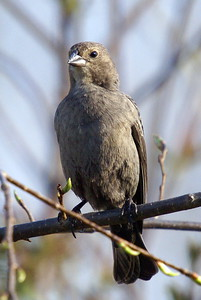 Female Brown Headed Cowbird