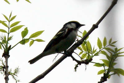 Chestnut Sided Warbler (very long distance shot)