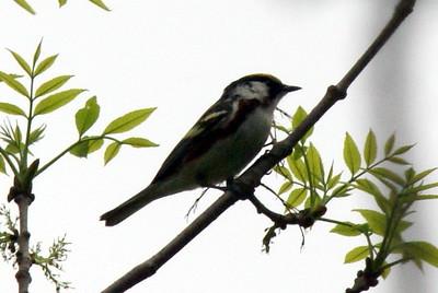 Chestnut Sided Warbler (very long distance shot)