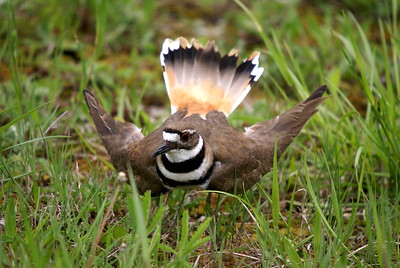 Killdeer defensive posture