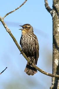 Female Red Wing Blackbird Crop