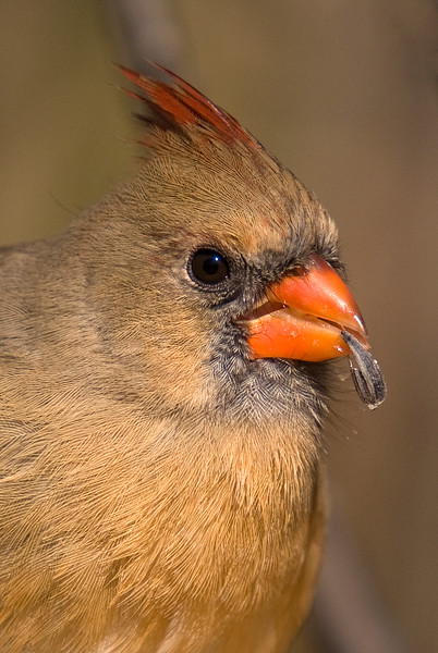 Northern Cardinal (Female) Portrait