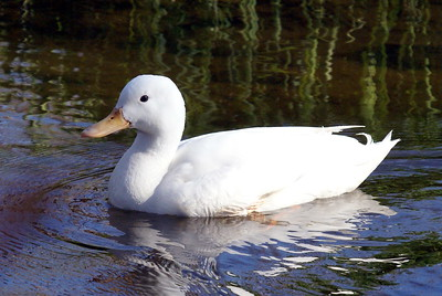 White Duck - presumably an escaped domestic rather than a leucistic bird.