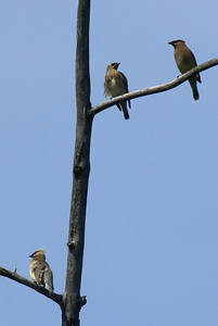 Cedar Waxwing family. (Male on bottom left, juvenile in the middle, and female top right).