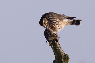 Merlin Falcon with lunch (suspect Tree Sparrow)