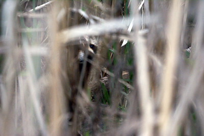 Raccoon trying to sneak up on me through the reeds.