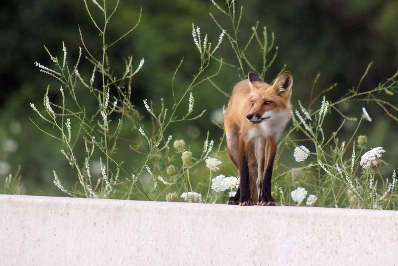 A very slim looking Red-tailed Fox en route to the park.