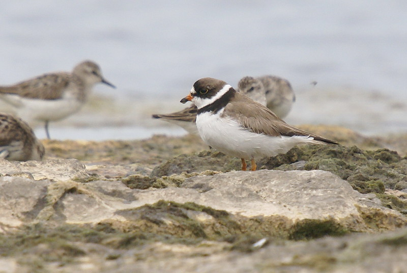 Semipalmated Plover (SP Sandpipers in the background)