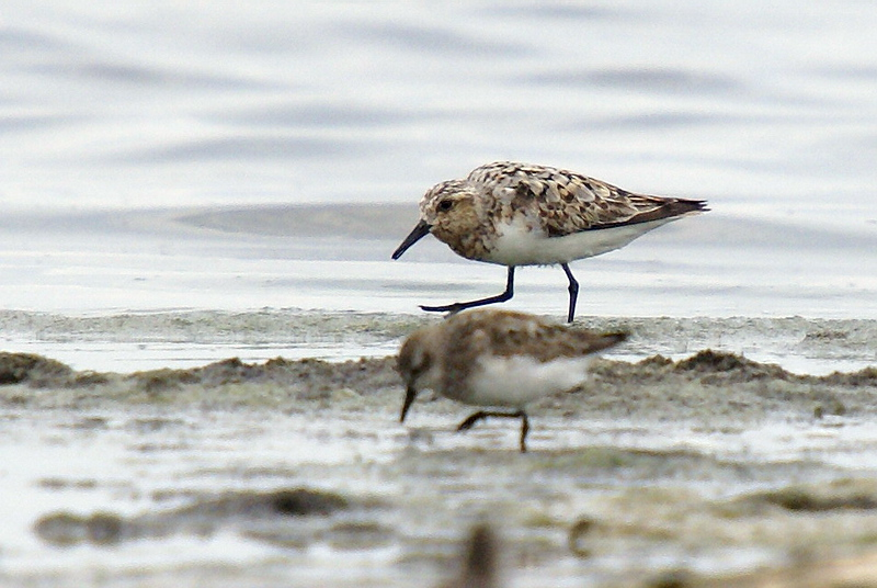 A lone Sanderling mixed in with the Semipalmated Sandpipers. I never thought a Sanderling could look so big! lol.