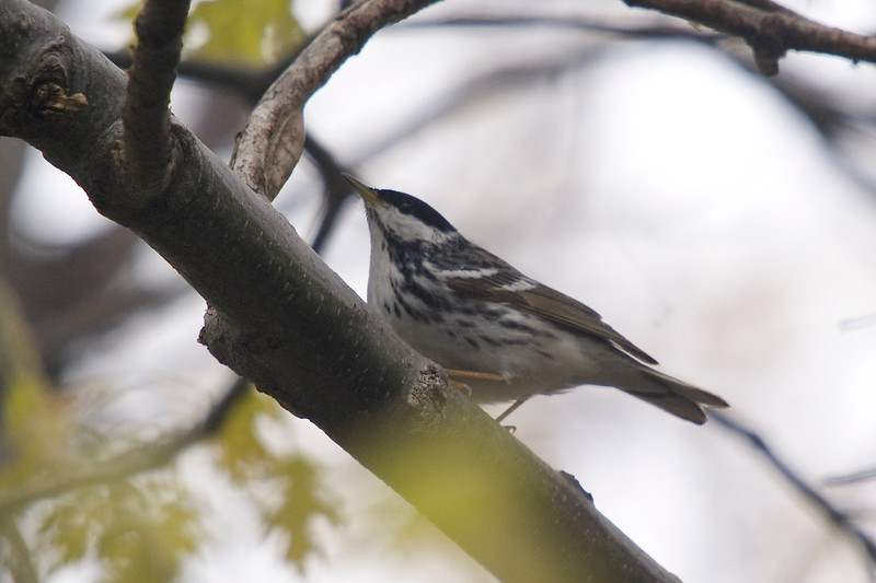 Blackpoll Warbler, Breeding Plumage (Male)