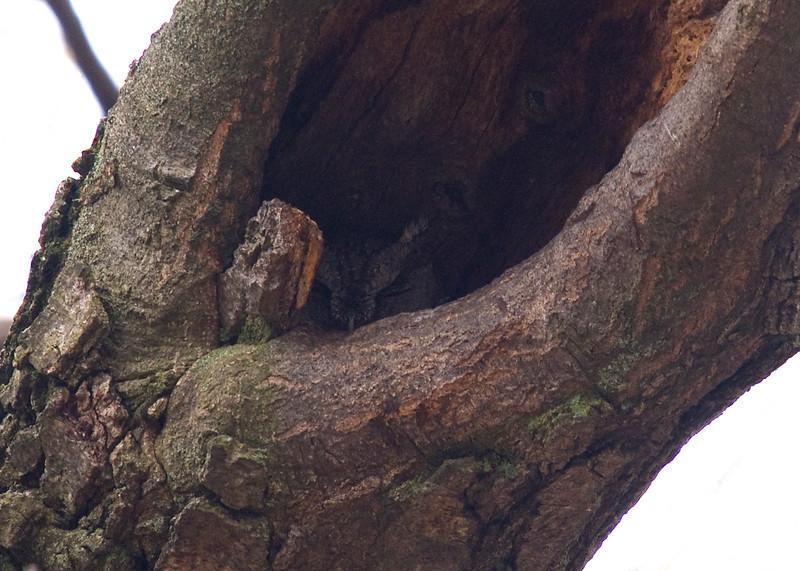 Screech Owl sleeping in a tree