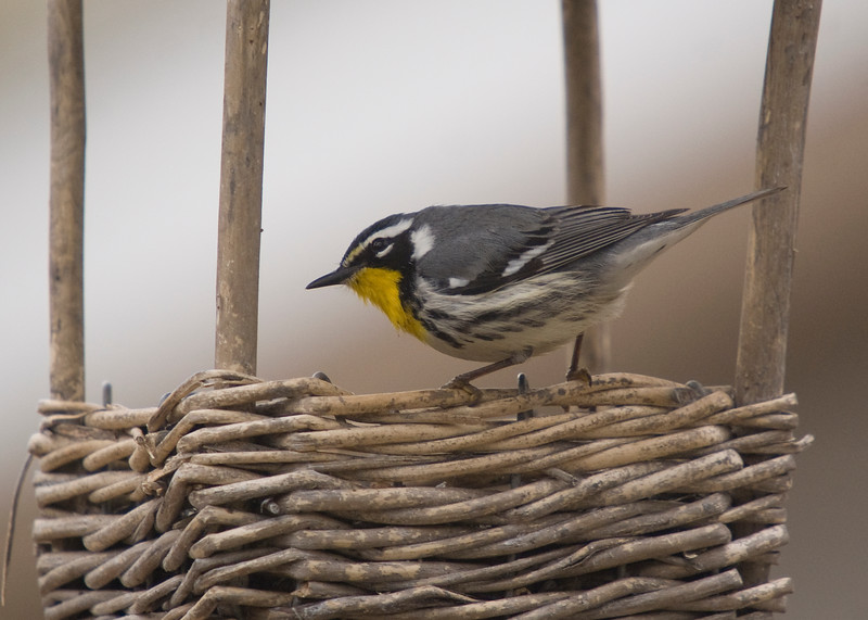 Yellow-throated Warbler visiting a feeder