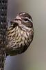 Female Rose-breasted Grosbeak at the feeder