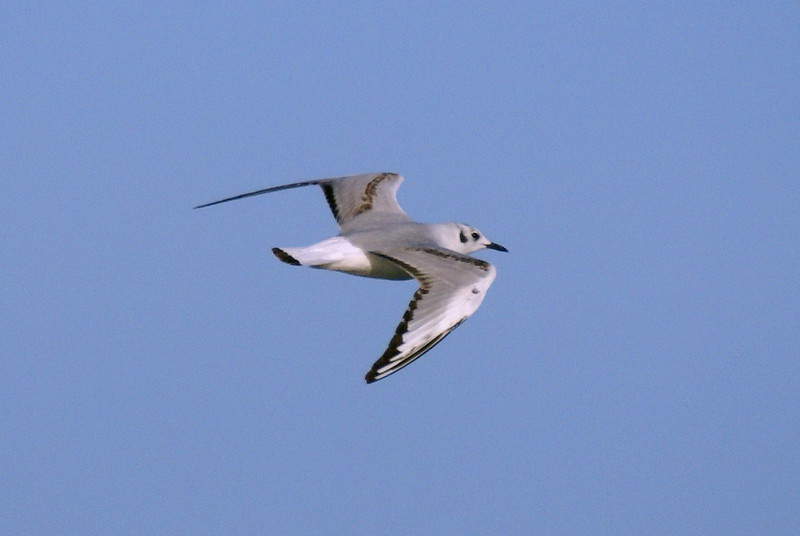 Bonaparte's Gull in flight
