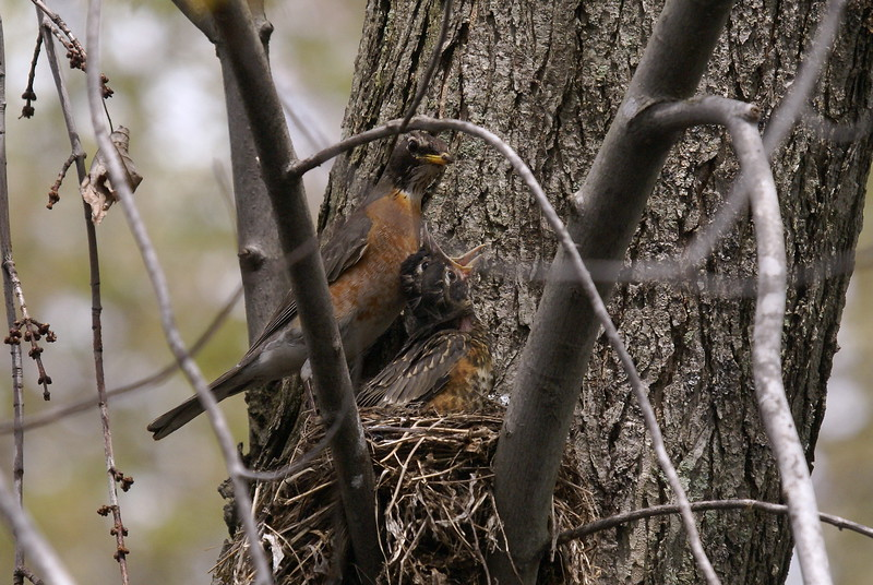 American Robin feeding its young