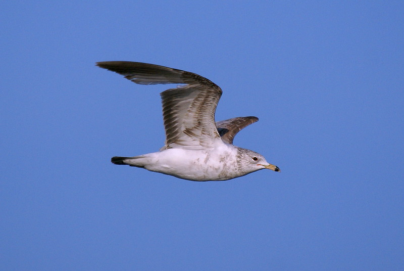 Ring-billed Gull i believe.