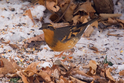 Varied Thrush - close to Heidelberg @ private residence. Thanks to Ilmar Ewert & Family for their gracious hospitality