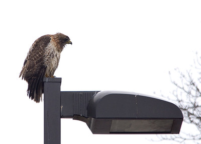 Red-tailed Hawk in the rain.