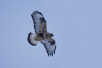 Light Morph Rough-legged Hawk at Dusk
