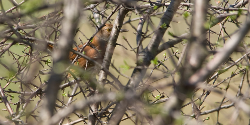 Brown Thrasher trying to hide...