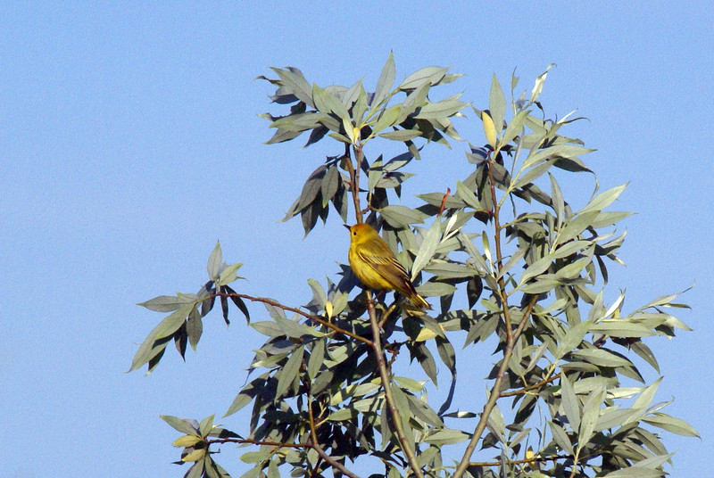 Yellow Warbler<br /> <br /> Taken at Snyder Flats (Woolwich, ON)