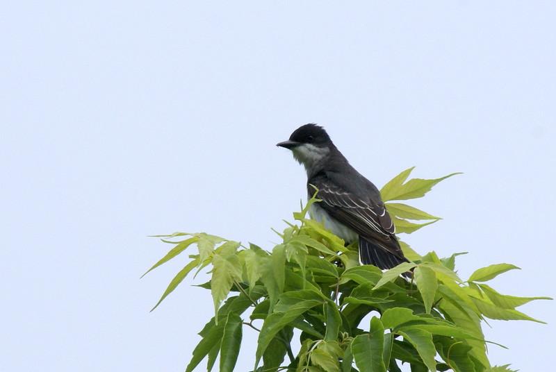 Eastern Kingbird<br /> <br /> Taken at Snyder Flats (Woolwich, ON)