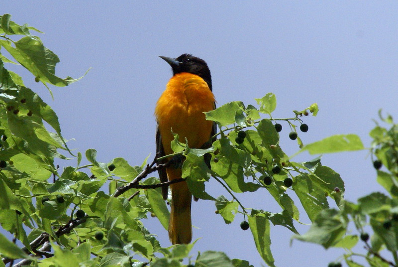 Baltimore Oriole<br /> <br /> Taken at Snyder Flats (Woolwich, ON)