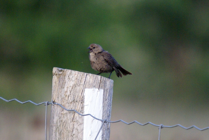 Juvenile Brown-headed Cowbird<br /> <br /> Taken at Snyder Flats (Woolwich, ON)