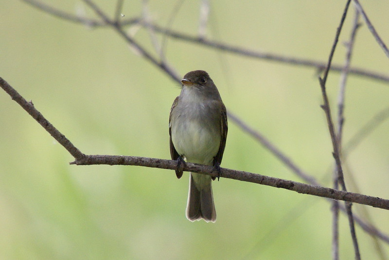 Alder Flycatcher. note the small bug which has captured the bird's attention.<br /> <br /> Taken at Snyder Flats (Woolwich, ON)