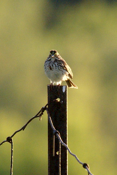 Savannah Sparrow<br /> <br /> Taken at Snyder Flats (Woolwich, ON)
