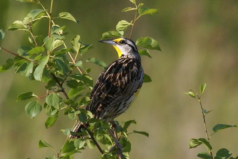 Eastern Meadowlark<br /> <br /> Picture taken at Snyder Flats 6-10-2007