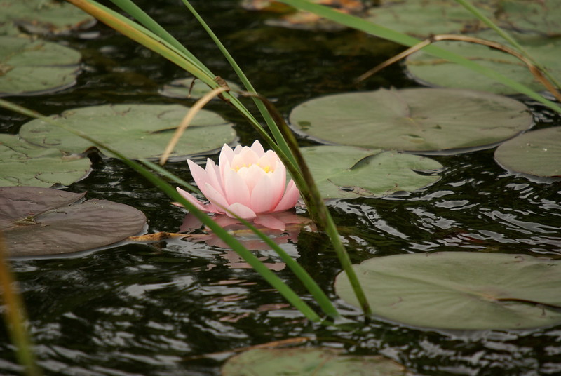 Water Lilly<br /> <br /> Taken at Snyder Flats (Woolwich, ON)