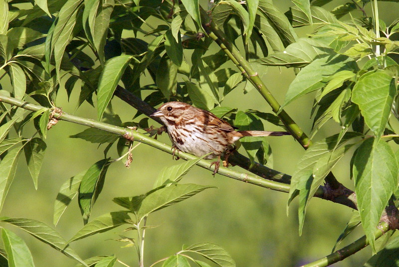 Song Sparrow<br /> <br /> Taken at Snyder Flats (Woolwich, ON)