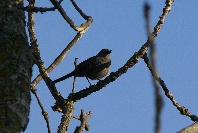Grey Catbird<br /> <br /> Taken at Snyder Flats (Woolwich, ON)