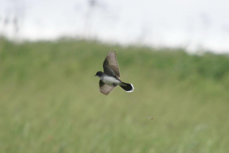 Eastern Kingbird <br /> <br /> Taken at Snyder Flats (Woolwich, ON)